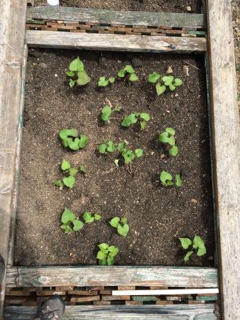 The freshly planted sweet potato slips